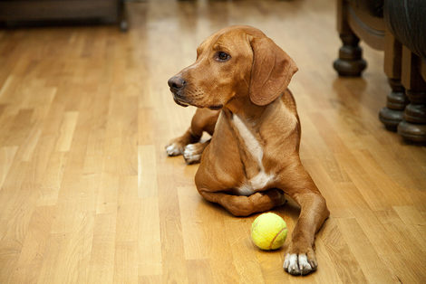 Dog on Wood Floor with Ball